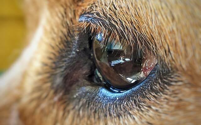 Todo lo que debes saber sobre la conjuntivitis en perros.