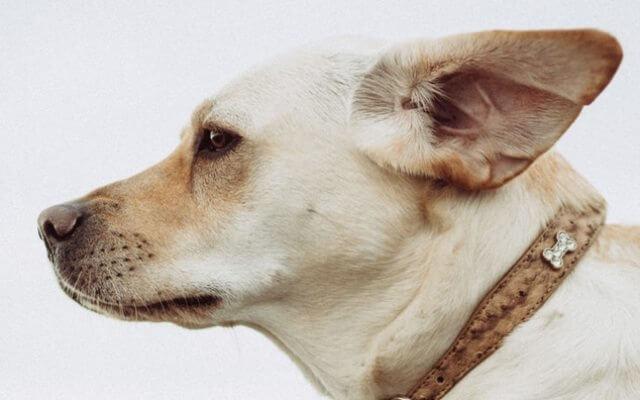 Todo lo que debes saber sobre la otitis en perros.