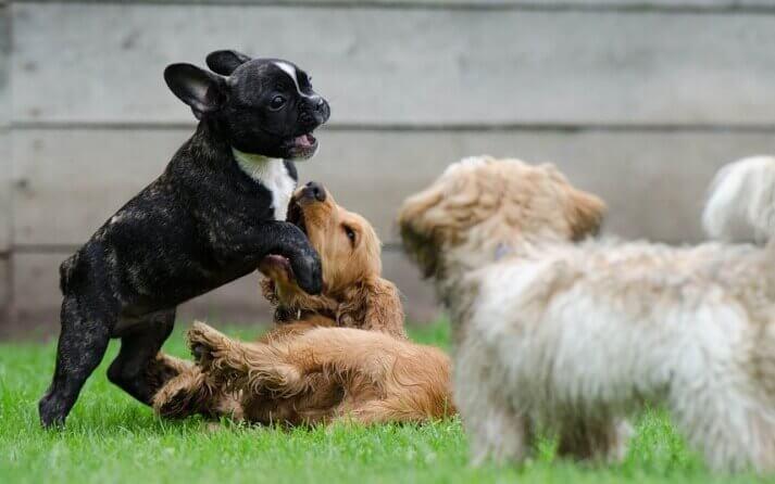 cachorros perros hiperactividad