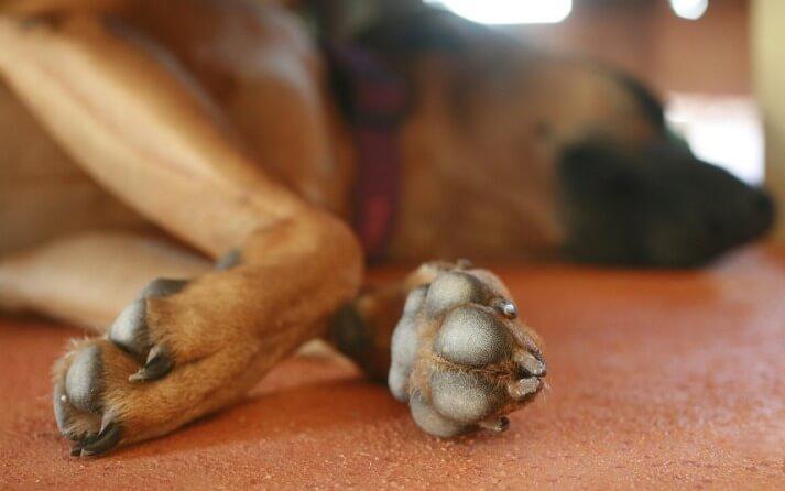curar esguince pata perro