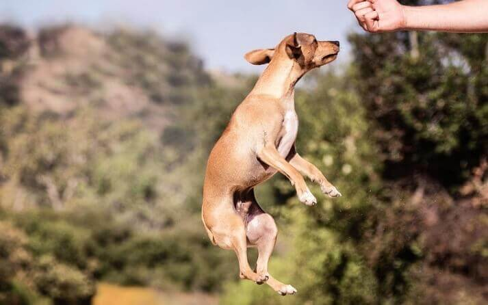 perro hiperactivo saltando