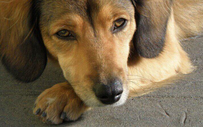 síntomas esguinces pata perros