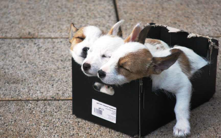 Cachorros en una caja.