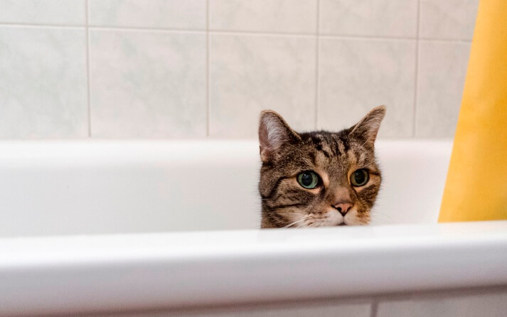 Pasos para lavar banar gatos