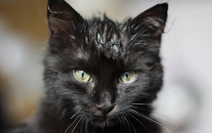 Cómo lavar a un gato