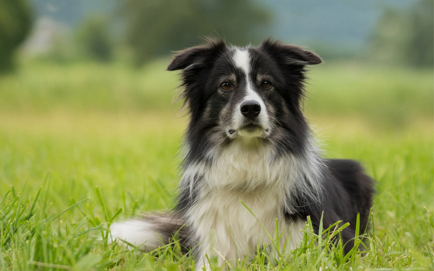 border collie en el campo