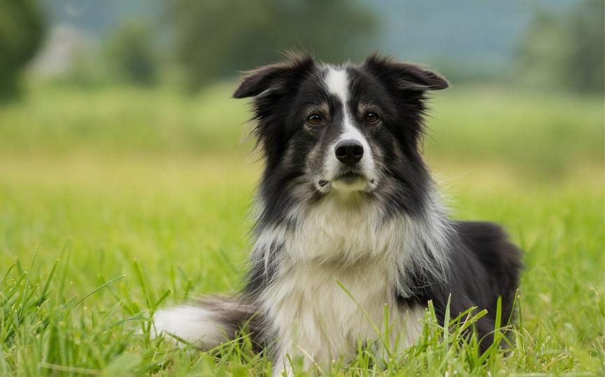 imagen de un perro mediano border collie en el campo