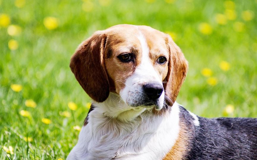 Por qué hay razas de perros que tienen las orejas caídas