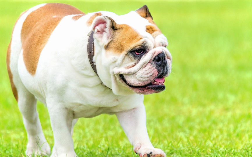 bulldog ingles en la hierba