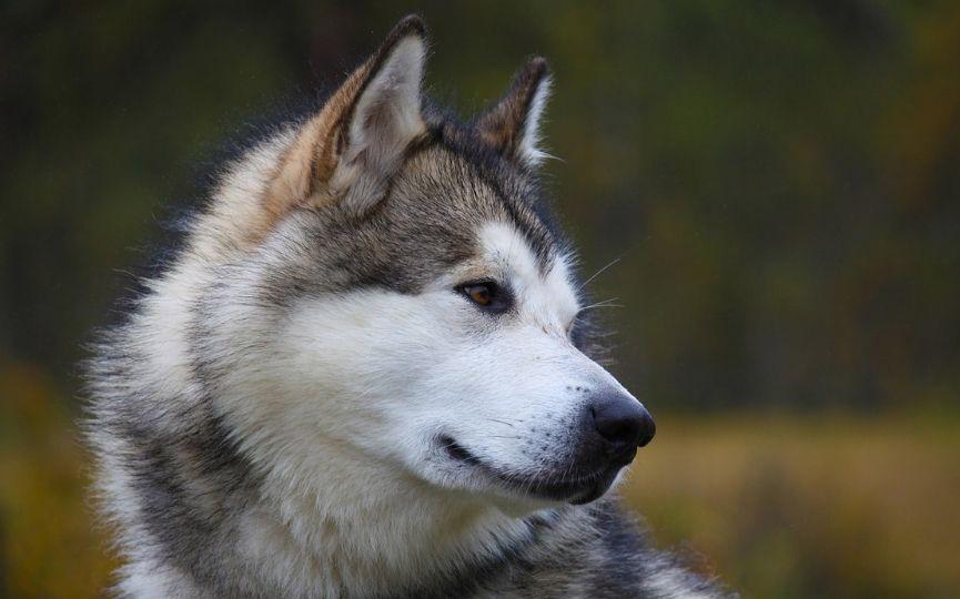 imagen de un perro mediano alaskan malamute