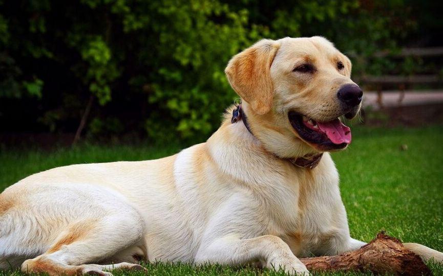 Labrador retriever tumbado en el cesped
