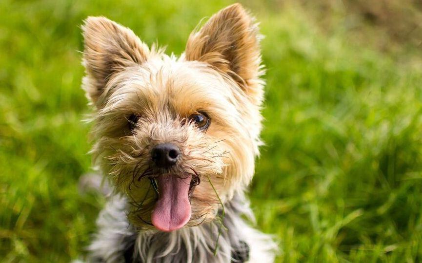 yorkshire terrier rostro