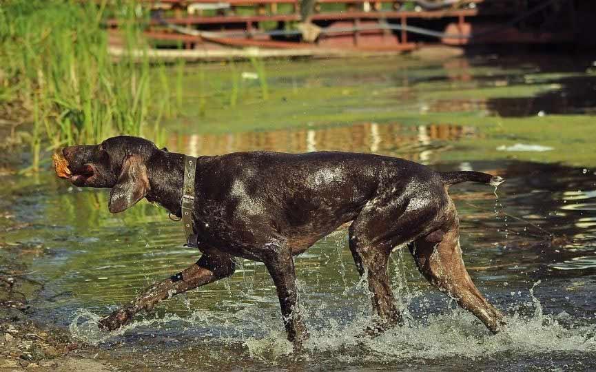 braco aleman en el agua