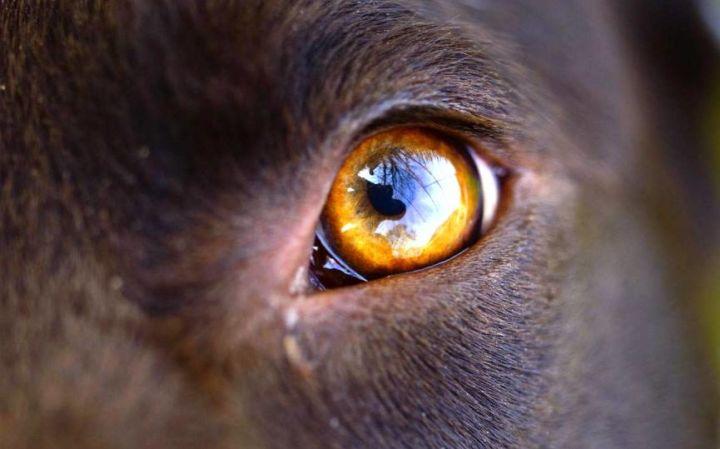 tratamiento ocular infectado con animales