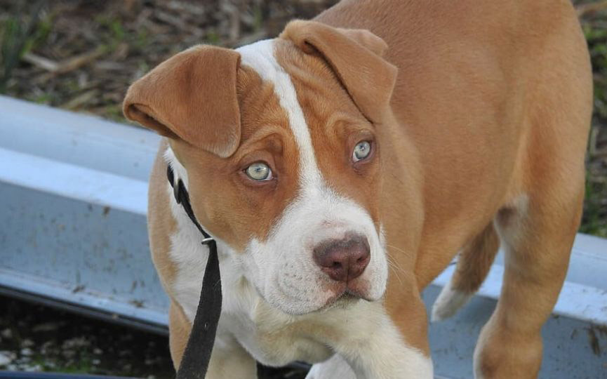 American Pit Bull Terrier rostro