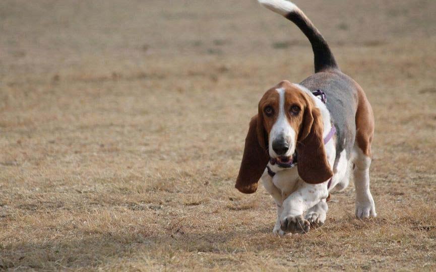 Basset Hound corriendo