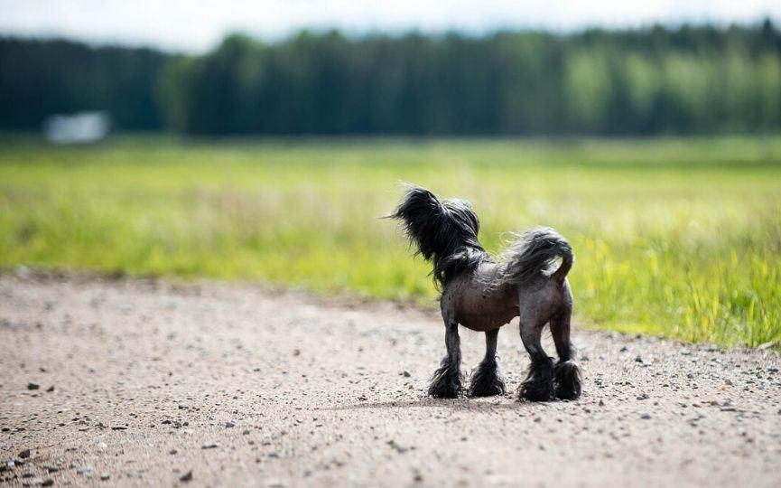 Crestado Chino en el campo paseando