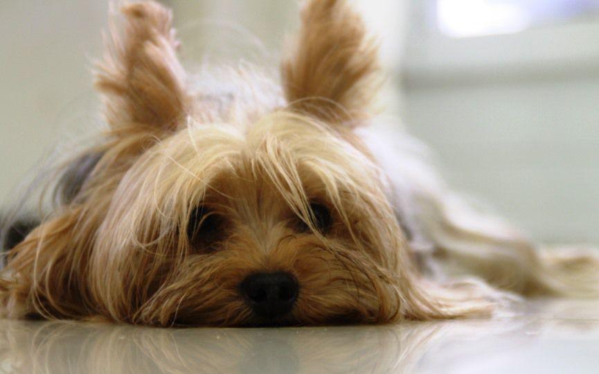 perro con problemas de oncología