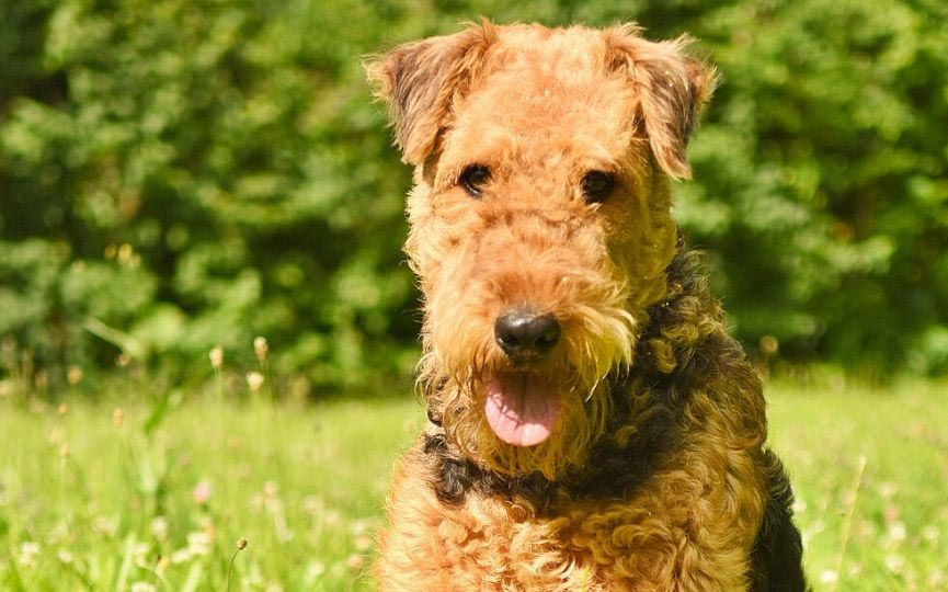 Airedale Terrier rostro