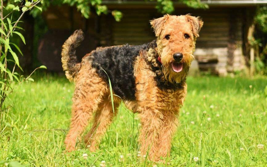 Airedale Terrier en el campo