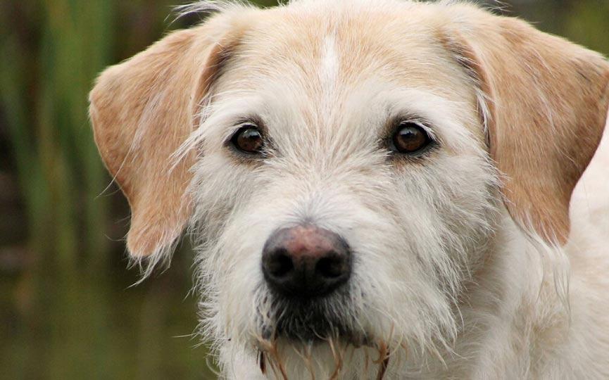 perro lobero irlandes rostro