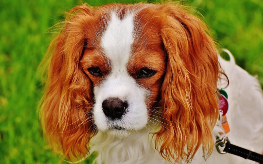 Toy Spaniel Inglés o Cavalier king charles