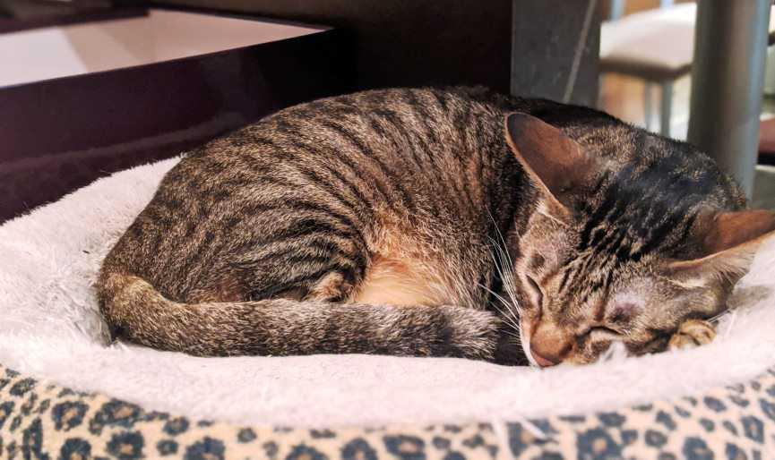 por qué es importante elegir bien la cama para tu gato