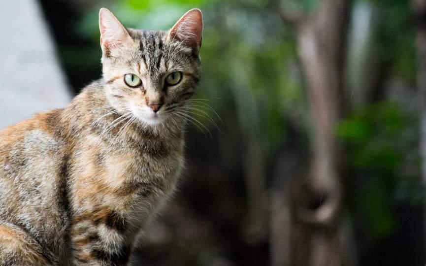 gato con ácaros del oído