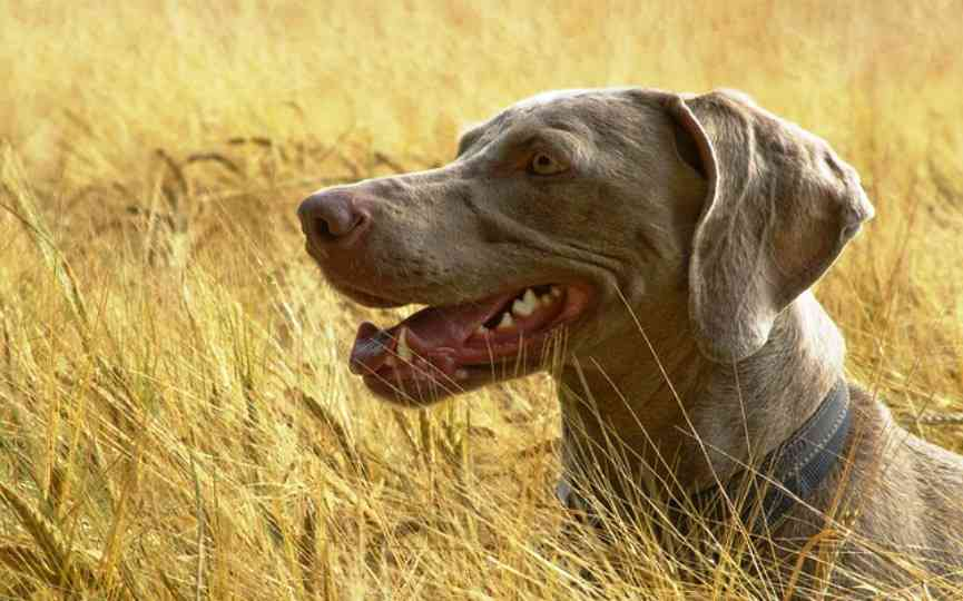 espigas peligro para perros