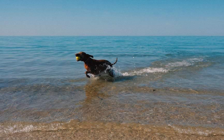 perro se baña en agua del mar