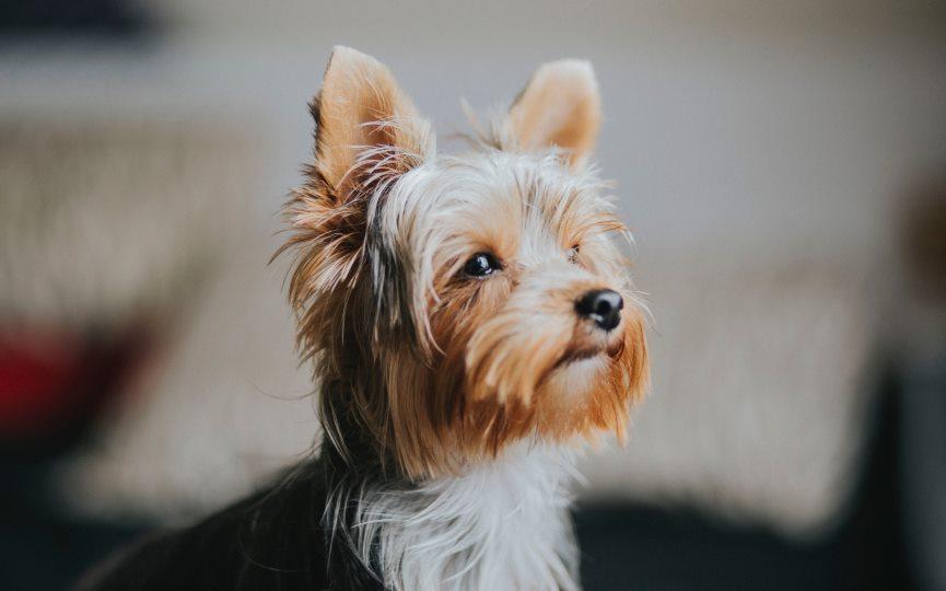 enfermedades del Yorkshire Terrier