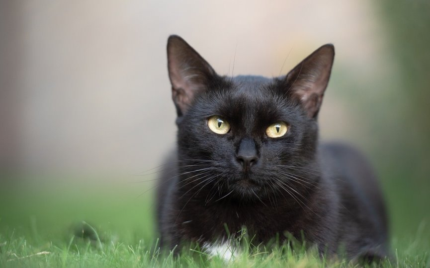 gatos no transmiten el COVID-19