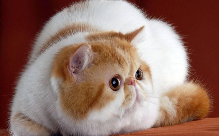 gato exótico