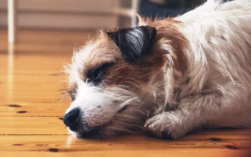 reconocer y tratar dolor en mascotas