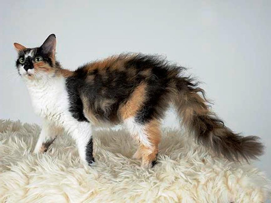 Laperm, razas de gatos exóticas