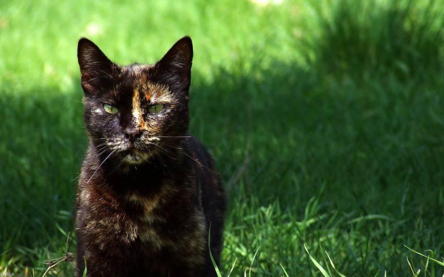 razas exóticas de gatos