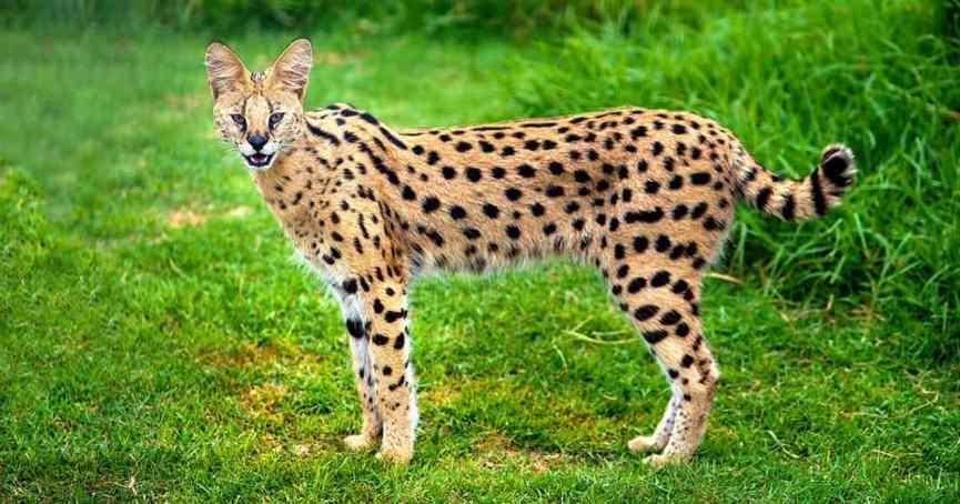 gato Savannah, una de las razas más exóticas
