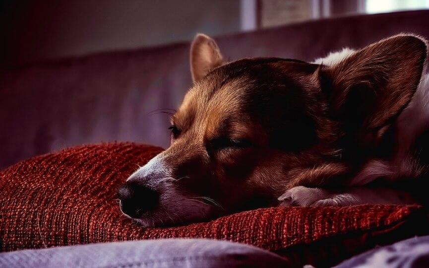 remedios para los perros que duermen mucho