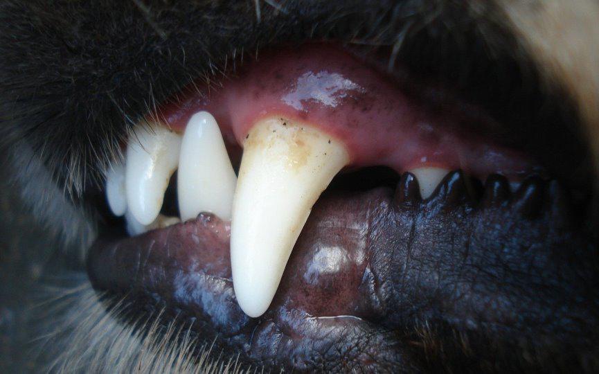 periodontitis en perro