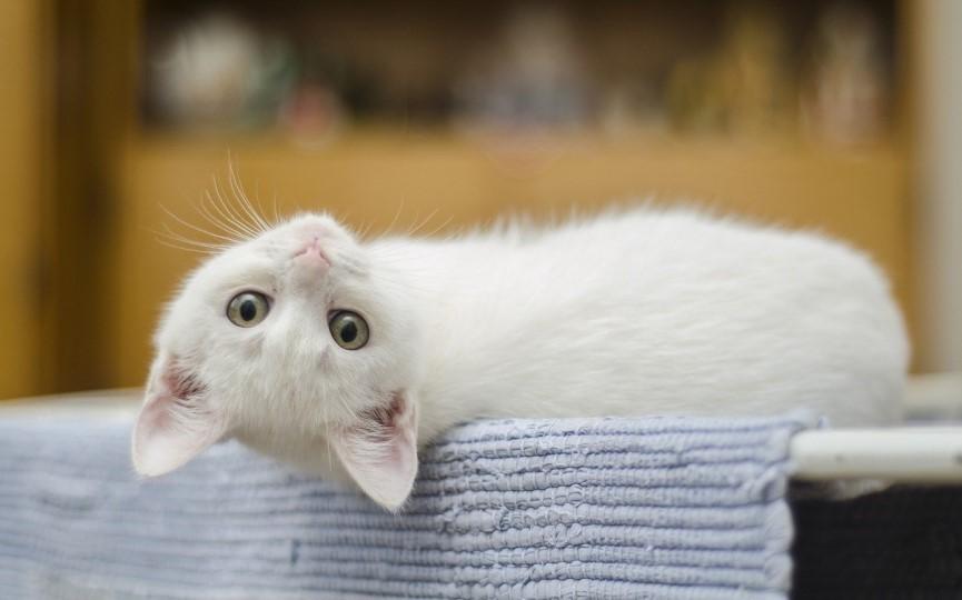 Carcinoma de células blancas en gatos blancos