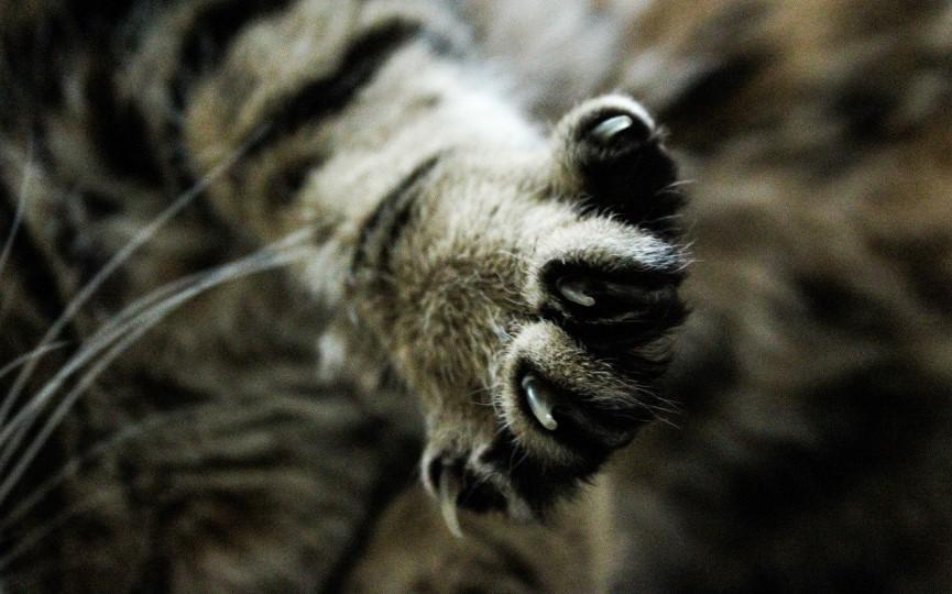 Desungulación en gatos