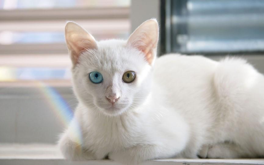 Gato persa Síndrome del riñón poliquístico