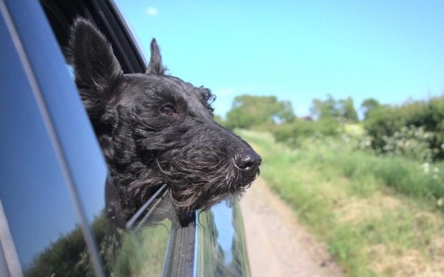 Perro se marea viajando en coche
