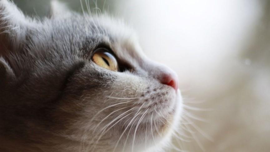 Síndrome Eosinofílico felino