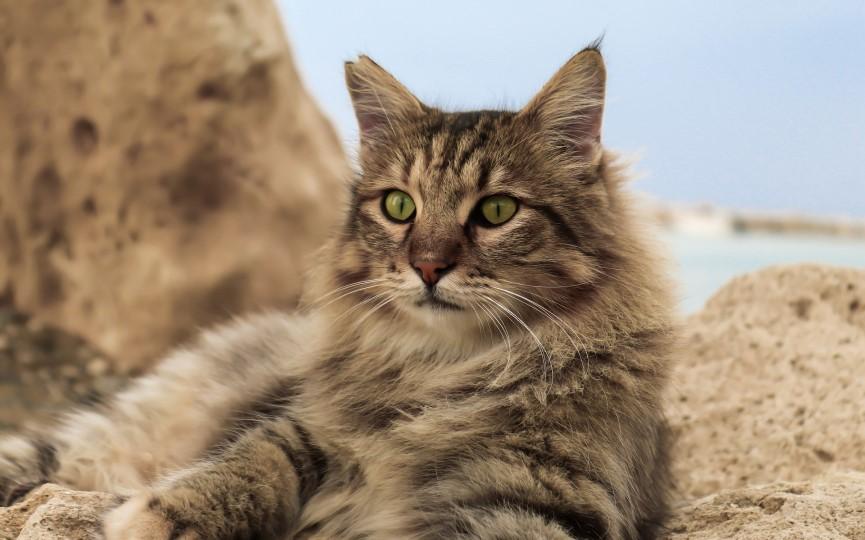 marca en orejas de gato