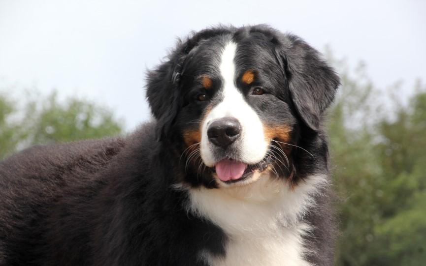 osteosarcoma en perros grandes